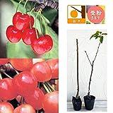 サクランボ2種受粉樹セット:なんよう(南陽)とナポレオン接木苗4~5号ポット ノーブランド品