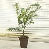 ポットでそのまま飾れます!庭木・植木:銀葉アカシア(ミモザ)ギンヨウアカシア*ポット