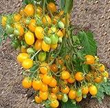 1房に約100個以上の多果性 超甘い 金豊ミニトマト 4粒 F1品種