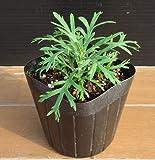マーガレット バタフライ 1株 宿根草 栄養系 綺麗なイエローの一重咲き