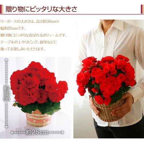 リーガース ベコニア(ピンク) 花鉢 フラワーギフト