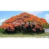新しいホームGaeden植物3種ロイヤルPOINCIANA、ホウオウボク属レジア、ツリーの種子炎ツリー、華やかなツリー【送料無料】