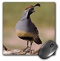 3drose LLC 8x 8x 0.25Gambelsウズラ鳥Tuscon Arizona Rolfナスバウマーマウスパッド( MP _ 84265_ 1)