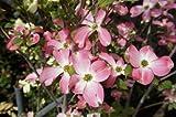 ハナミズキ 苗木 赤花 接木ポット苗 庭木 落葉樹 シンボルツリー