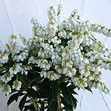 アセビ(馬酔木):屋久島アセビ4.5号ポット[樹形がコンパクトにまとまるわい性白花品種]