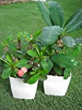 多肉植物 さぼてん ユーフォルビア 花キリン 3,5号サイズ お任せ2ポットセット