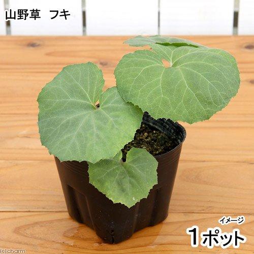 (山野草)山菜 フキ(蕗) 4号(1ポット) 家庭菜園 本州・四国限定[生体]