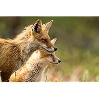 ビクセンとふしだらな動物 - #29804 - キャンバス印刷アートポスター 写真 部屋インテリア絵画 ポスター 90cmx60cm