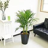 アレカヤシ ヤシの木 スタイリッシュな黒色鉢カバー付 観葉植物 インテリア 中型 大型
