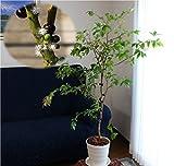 [幹に実と花が成る不思議な観葉植物]ジャボチカバ栽培5点セット[6年生樹高約70cmジャボチカバ実生苗木(中葉系)+肥料入りジャボチカバの土+陶器風プラ鉢+受け皿+バークマルチ]