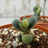 swランプランツ レーマニー錦 コルプスクラリア・リーマニー錦(Corpuscularia lehmannii f. variegata)メセン 売れてる人気の多肉植物 6cmポット