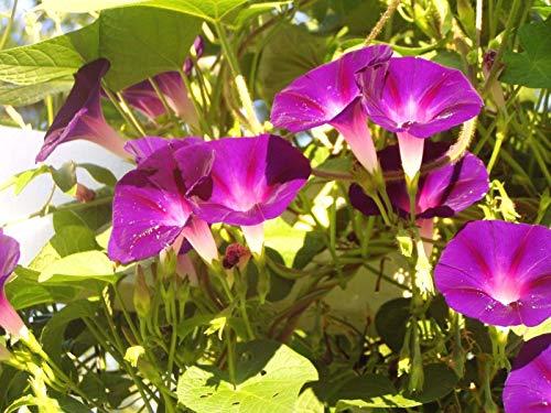 モーニンググローリーIpomoea Nilワインとバラ10種