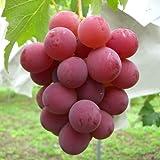 ぶどう 苗木 シナノスマイル 12cmポット苗 ブドウ苗 葡萄