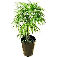 棕櫚竹 シュロチク 8号 スタイリッシュな黒色鉢カバー付 寒さに強い 観葉植物 中型 大型 インテリア