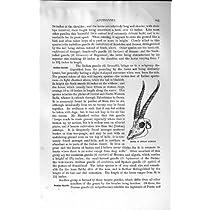 自然史の 1894 の頭骨のインドのガゼルのカモシカ