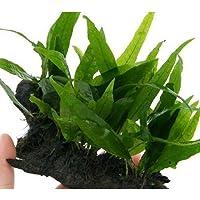 (水草)ミクロソリウム プテロプス ボード Sサイズ(1個)(約15cm)