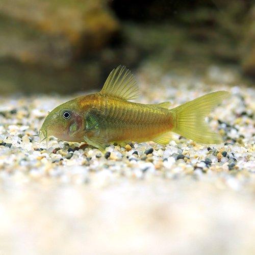 (熱帯魚)コリドラス・イルミネータス ゴールド(ワイルド)(1匹) 本州・四国限定[生体]