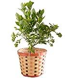ブルーベリー鉢植え(実付) フラワーギフト 花鉢 父の日ギフト
