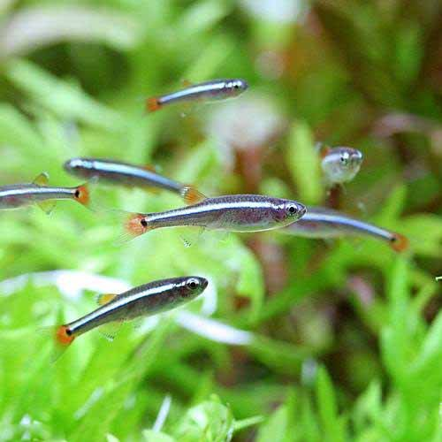 (熱帯魚) アカヒレ Sサイズ(5匹) 本州・四国限定[生体]