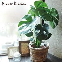 モンステラ 鉢植え 茶カゴ付き 高さ70センチ (monsu)