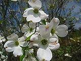 ハナミズキ 白花 樹高1.8m前後 花つきの良いハナミズキです☆アメリカヤマボウシ