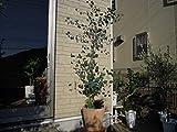 ユーカリ ポポラス(ポリアンサ、ハートリーフ) 7寸苗木