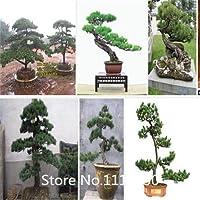 赤:プロモーション松の種木の種、盆栽アカマツThunbergiiの種、育てる方法を教える、50粒子/バッグ小説の種