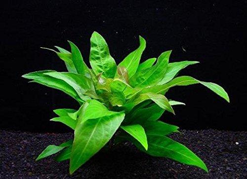 ラージリーフ ハイグロフィラ(3本) ◆茎や葉脈が赤い◆ メダカにも最適