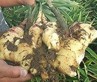 損失の促進!100ピース/パックショウガ種子バルコニー野菜ポット付盆栽植物種子シーズンズジンギバーグ種子植物、#6NPAB:8