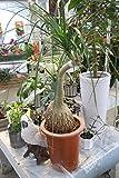 【観葉植物】 トックリラン ノリナ 7号鉢 【ギフト】【送料込】