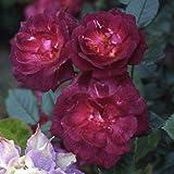 バラ苗 ダークチェリーパイ 国産大苗6号スリット鉢 四季咲き小輪 つるバラ(CL) 赤系