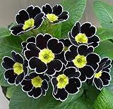 宿根草 覆輪咲き プリムラ ハイブリット ビクトリアーナ・レース ブラック 1株 冬咲き 鉢植え 庭植えガーデニング 寄せ植え等に