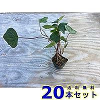 ヘデラカナリエンス (アイビー・オカメヅタ) 10.5p 20本 グランドカバー