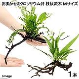 (水草)おまかせミクロソリウム付 枝状流木 Mサイズ(約25~30cm)(無農薬)(1本) 本州・四国限定[生体]