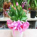 チューリップ 鉢植え かご付き ピンク系の春を感じるかわいい花 誕生日やお祝い 花 ギフト
