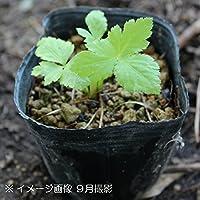 山菜苗:ミツバ(三つ葉) 9cmポット苗2ポットセット【紫桜館山の花屋】