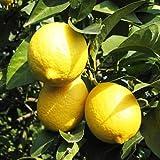 レモン 苗木 トゲなしレモン 13.5cmポット れもん苗