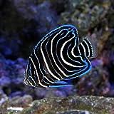 (海水魚 ヤッコ)サザナミヤッコ 幼魚 Mサイズ(1匹) 本州・四国限定[生体]