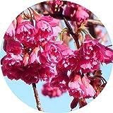 桜 苗木 八重寒緋桜 12cmポット苗 やえかんひざくら さくら 苗 サクラ