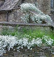 盆栽の種100夏の雪(Cerastium Biebersteinii)グラウンドカバーCombsh I46