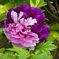 24種類のかわいい牡丹盆栽シャクヤクSuffruticosa 10PCSの/パック 牡丹の花盆栽のホームガーデン:18