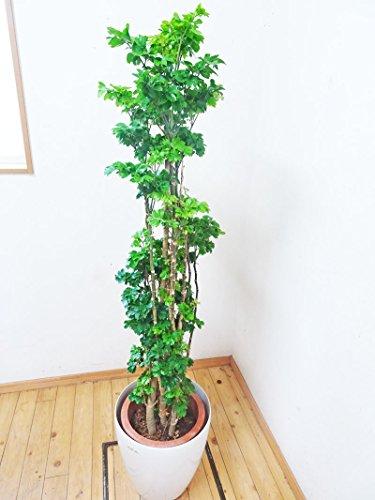 【送料無料】【一鉢限定】小さな葉っぱが可愛いポリシャス/160cm(10号プラ)【鉢カバー別売り】