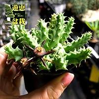 多肉植物:ガガイモ デュバリア カエスピトーサ*葉幅8cm