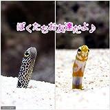 (海水魚)ガーデンイール お友達セット(3セット)(各3匹) 本州・四国限定[生体]