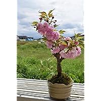 八重桜 盆栽 桜盆栽 品種 関山サクラ