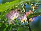 【6か月枯れ保証】【夏に花が咲く木】ネムノキ 0.5m