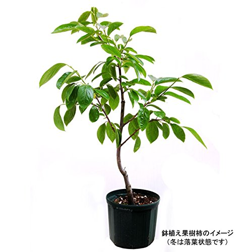 鉢植え果樹 柿(カキ):平核無(ヒラタネナシ)8号鉢植え[庄内柿・八珍・種なし代表品種・渋柿]