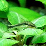 (熱帯魚)オトシンクルス(6匹) 本州・四国限定[生体]