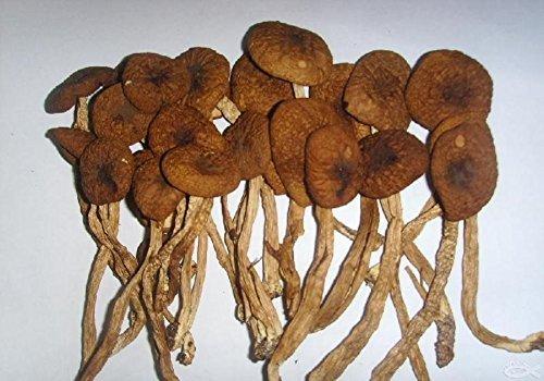 おいしいキノコAgrocybe Aegeritaは1500 gグレードAを乾燥させ