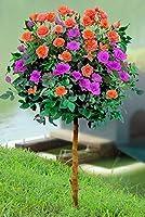 200ピース/バッグレアミックスカラーローズ種子レインボーツリーフラワー種子レアローズ盆栽種子バルコニーdiy種子種子用ホーム